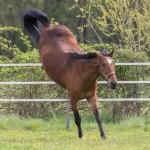 Das equine metabolische Syndrom